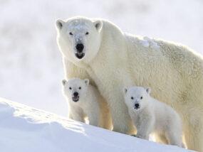 A polar bear family near Baffin Island in the Canadian arctic. Photo credit: John Rollins